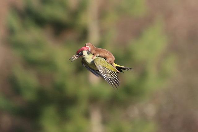 """""""Chồn cưỡi chim gõ kiến"""" của một nhiếp ảnh gia nghiệp dư"""