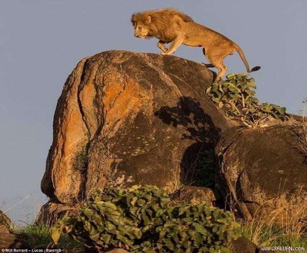"""Hình ảnh """"vua sư tử Disney"""" hùng dũng trên đỉnh núi"""