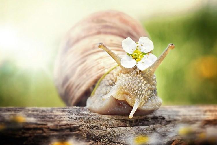 Ốc sên cài hoa trở nên đáng yêu hơn bao giờ hết.