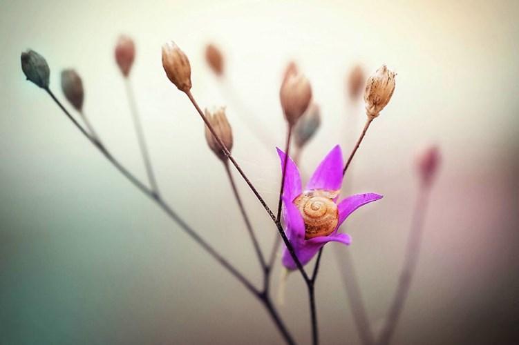 Vòng xoáy trên vỏ ốc khiến bông hoa như có một chiếc nhụy đặc biệt.
