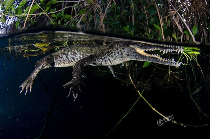 Không phải ai cũng dám xuống 'động nước' mà biết chắc bên dưới có vô số cá sấu, càng không cần nói đến chuyện chụp lại những hình ảnh của loài động vật ăn thịt hung dữ này ở cự ly gần như vậy.