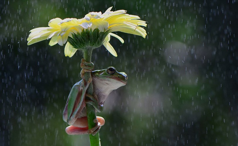 Không có lá thì ếch ta có thể lấy tạm hoa làm ô, tạo nên hình ảnh tuyệt đẹp.