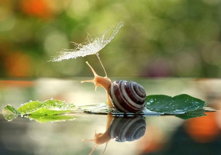 Một bông hoa bồ công anh cũng có thể trở thành chiếc ô hữu hiệu cho ốc tránh cơn mưa nhỏ.