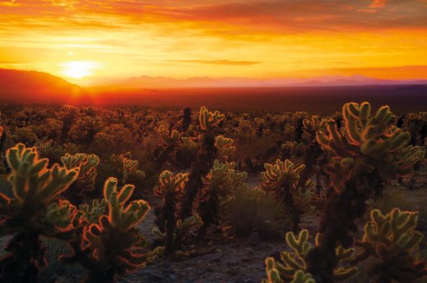 Sunrise over Cholla Cactus Garden, Joshua Tree National Park, California, USA