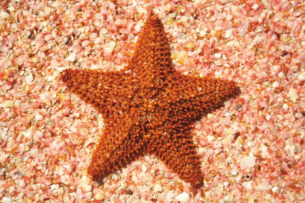 Starfish on Pink Shells, Barbuda, Caribbean, West Indies
