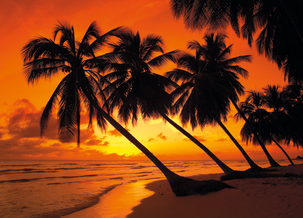 Palm Trees at Sunset, Barbados, West Indies