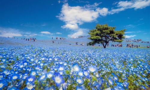 Khung cảnh mùa xuân ở Nhật Bản. Trong ảnh, người dân đang bị bộ giữa cánh đồng hoa Nemophila ở công viên Hitachi, Ibaraki.