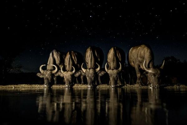 Đàn trâu uống nước vào ban đêm ở Nam Phi.