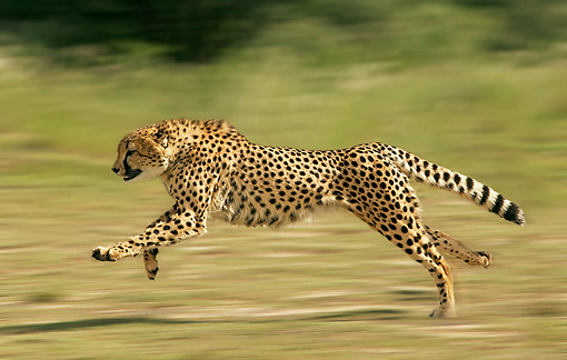 photo-panning-cheetah