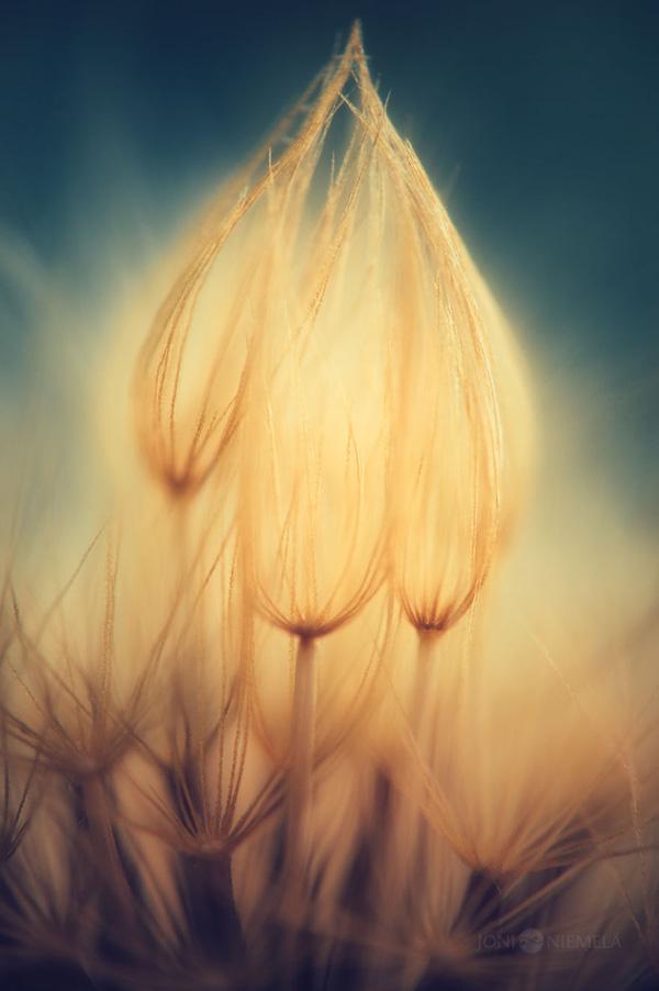 Bộ ảnh hạt giống hoa lung linh trong sương sớm của nhiếp ảnh gia Phần Lan